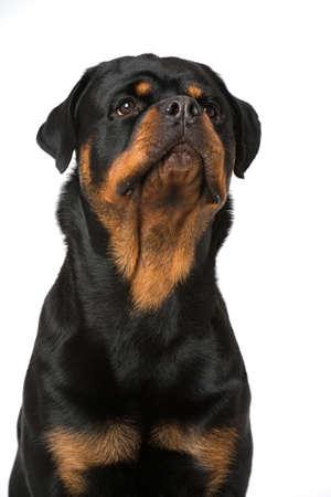 Rottweiler dog isolated on white background Stock Photo