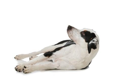 Cross breed dog lying isolated on white