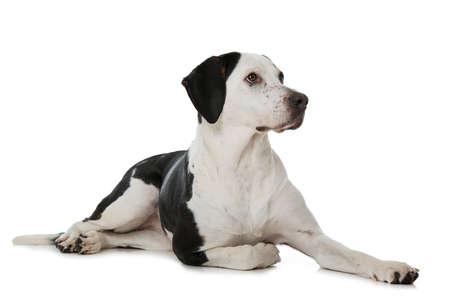 Big cross breed dog isolated on white background