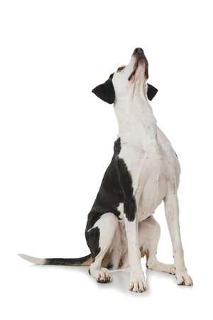 Big cross breed dog sitting isolated on white background