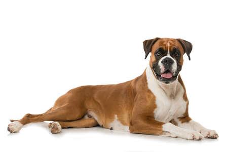 German boxer dog isolated on white background
