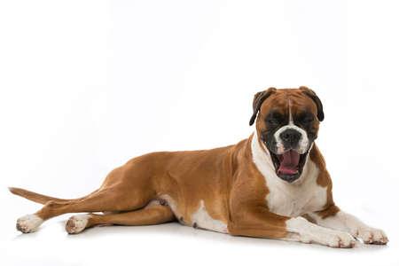 German boxer dog yawning isolated on white background Foto de archivo