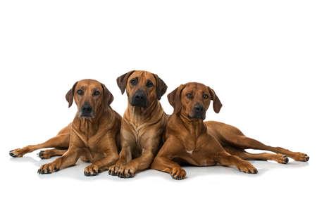 Three rhodesian ridgeback dogs isolated on white background