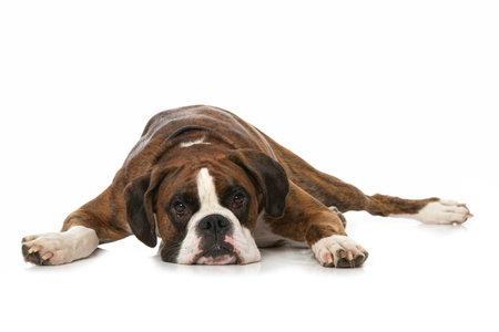 German boxer dog lying isolated on white background