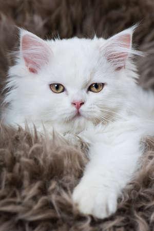 Cute persian kitten on a sheepskin Standard-Bild