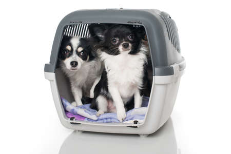 Chihuahua dogs in a transport box isolated on white Stock Photo