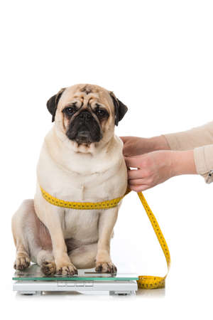 Fat pug sits on a scale and is measured