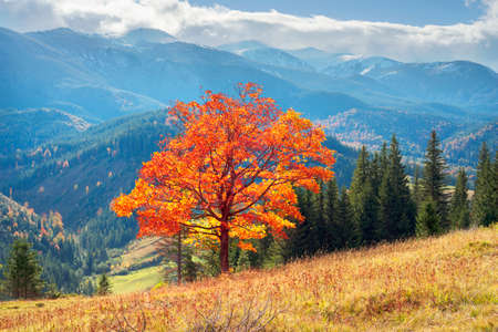 A beautiful lonely orange maple tree on the picturesque bright Carpathian background in the fall. The magic splendor of autumn in Ukraine creates a wonderful atmosphere for a perfect retreat