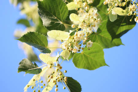 Blossom of tilia in spring sunny day