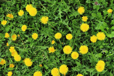 Dandelions in the grass as the background