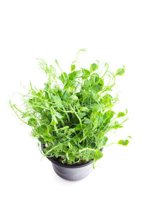 green pea shoots isolated on white background