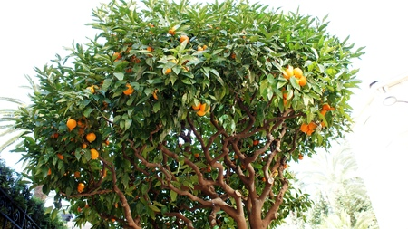 monte carlo: Orange tree in winter, Monaco, Monte Carlo