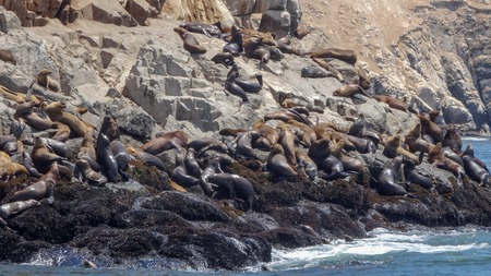 Excursion in Peru where the tourists can swim with the sea lions in the Pacific ocean.
