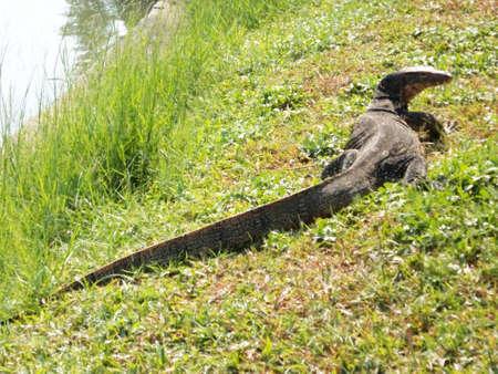salvator: Varanus salvator