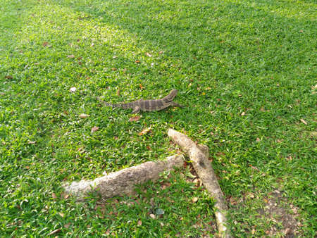 salvator: Varanus salvator in the park
