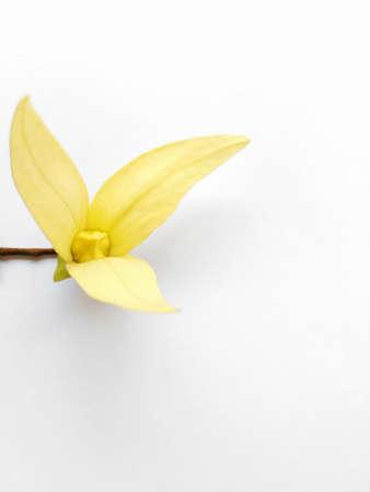 annonaceae: Desmos chinensis Lour