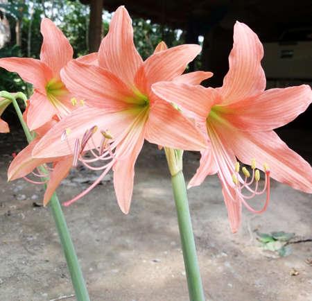 hippeastrum flower: Hippeastrum flower from Thailand