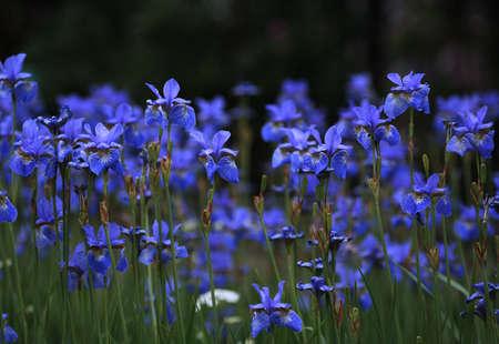 petites fleurs: Iris blooms � Saint-P�tersbourg, en Russie  Banque d'images
