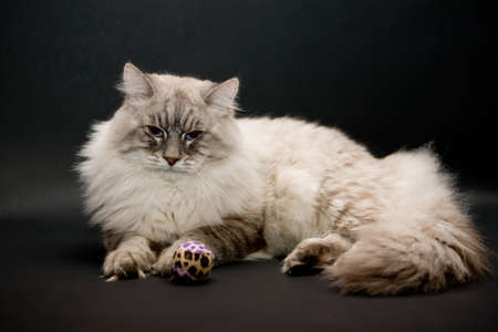 Beautiful cat with toy  photo