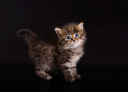 Siberian kitten on the black background photo