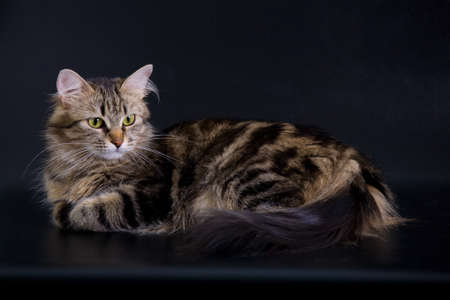 animal watching: Siberian cat on the black background