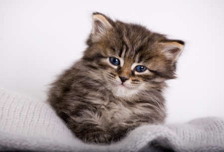 Siberian kitten on the white background photo