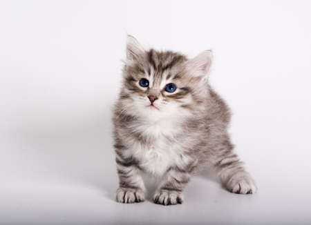 Silver siberian kitten on the white background photo