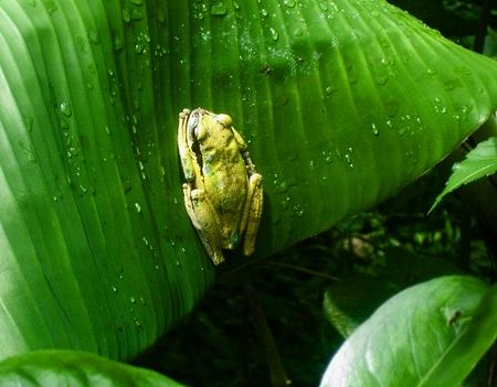 poison frog: lsweet piccolo, piccolo veleno rana verde Archivio Fotografico