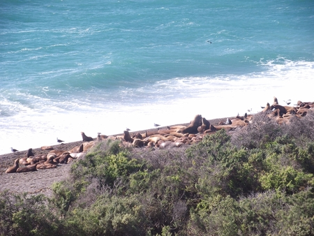 pinniped: argentina  patagonia puerto madryn national park Pinniped seals