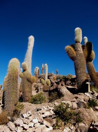 cactus on the island of  salar de uyuni in Bolivia photo