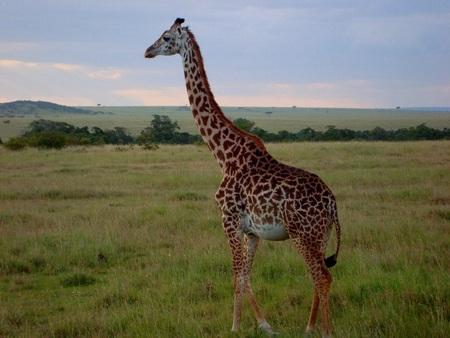 tierschutz: Giraffentiersafaripark Zoo Lizenzfreie Bilder