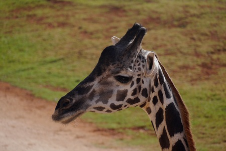 animal welfare: Giraffe wildlife Safari park zoo Stock Photo