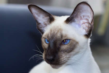 Portrait of beautiful blue eyes seal-point oriental cat.. Landscape orientation. Free space. Stock Photo