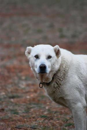 sheppard: Dog looking at camera