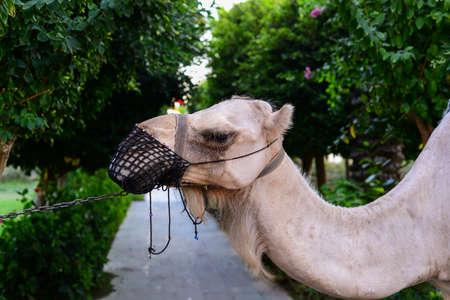 tutankhamen: Camel head close up