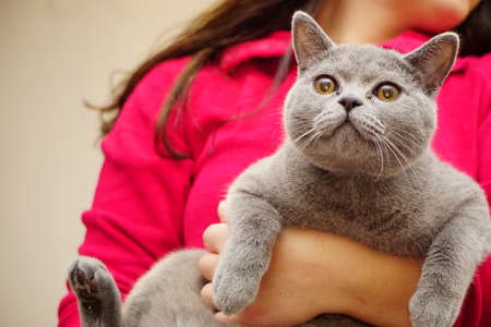 British shorthair cat with gray fur and amber eyes Banco de Imagens