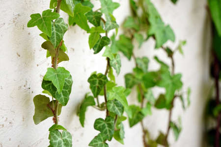 Ivy climber plant on the white wall close up view