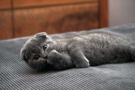 British fold kitten at home on grey couch candid images