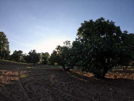 Fig tree garden at sunset Stok Fotoğraf - 131718821