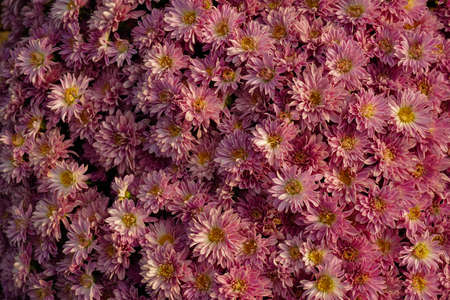 Assorted colored chrysanthemum texture background