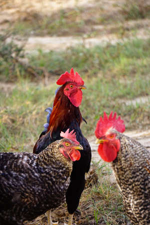 Famous denizli hen rooster crowing and roaming on the field