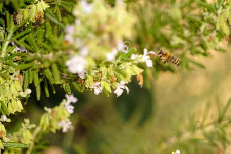 Rosemary bush with honey bee close up view
