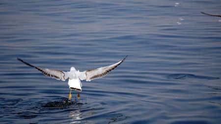 Beautiful white seagulls stunting on the sea
