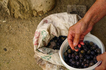 Black olives handpicked and pickled in woman hand candid image