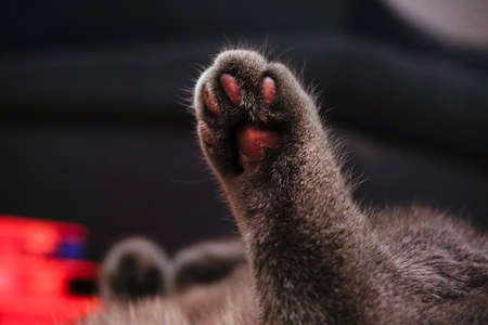 Cat waving paw close up view