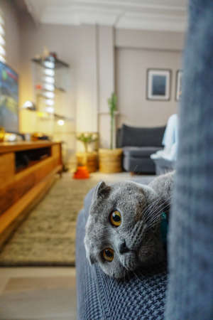 Cute scottish fold cat portrait close up view looking at camera