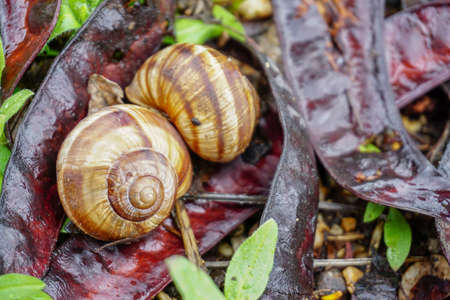 Two snail shells in the nature close up view on humid rainy weather Archivio Fotografico