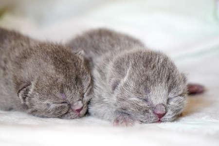 New born scottish fold kittens on white background close up view