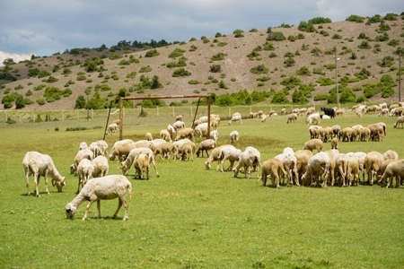 Sheep and goat herd being fed on green fields before the sacrifation fete on a sunny day in Turkey
