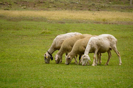 Sheep and goat herd being fed on green fields before the sacrifation fete on a sunny day in Turkey Stock Photo